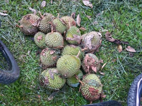 too many durians but few good ones