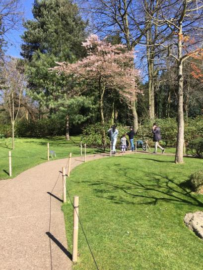 solitary sakura @ japanese gardens