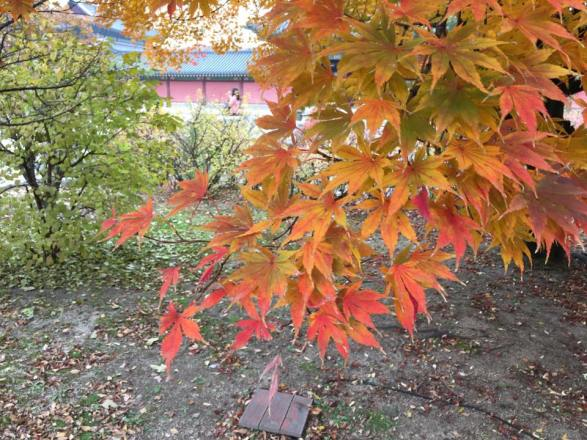 Day 1 - red maple @ Changdeokgung 昌德宫
