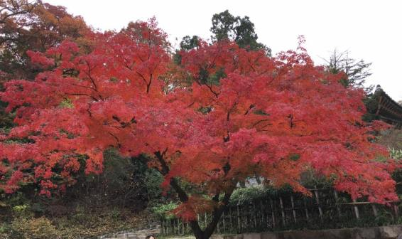 Day 1 - red maple @ biwon秘苑secret gardens
